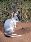 The bilby. Image from: www.users.on.net/ chrisoaten/bilby.html