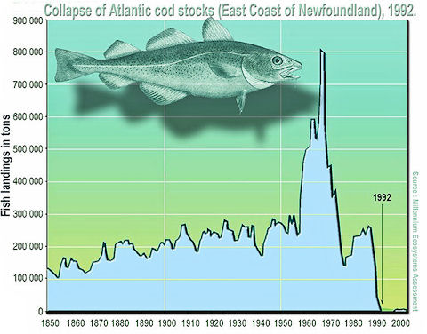collapse of atlantic cod