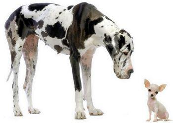 Greta Dane and chihuahua