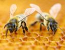 Honeybees can count
